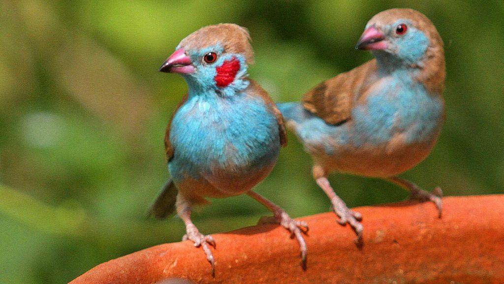 Pájaros Azulitos de Senegal