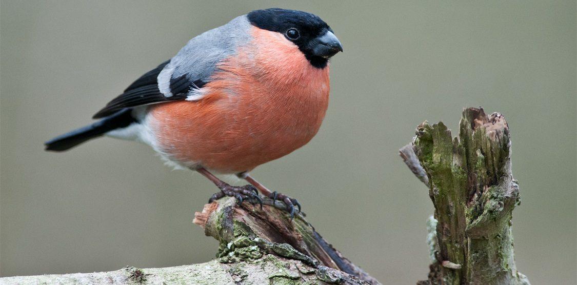 Pájaros Camachuelos