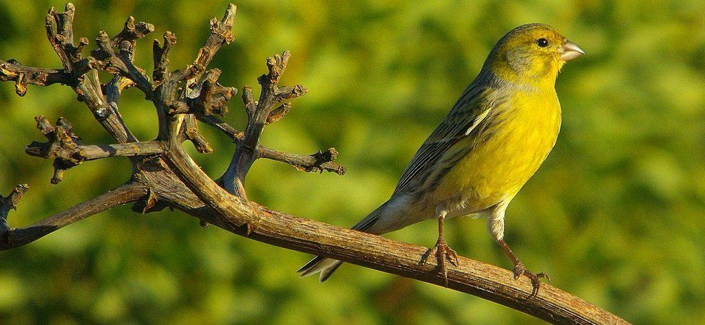 Pájaros Canarios