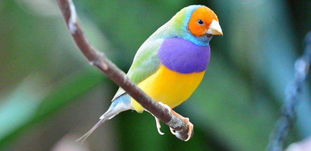 Pájaros Diamante de Gould