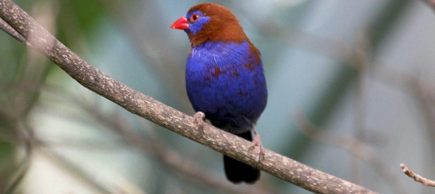 Pájaros Estrildas violetas