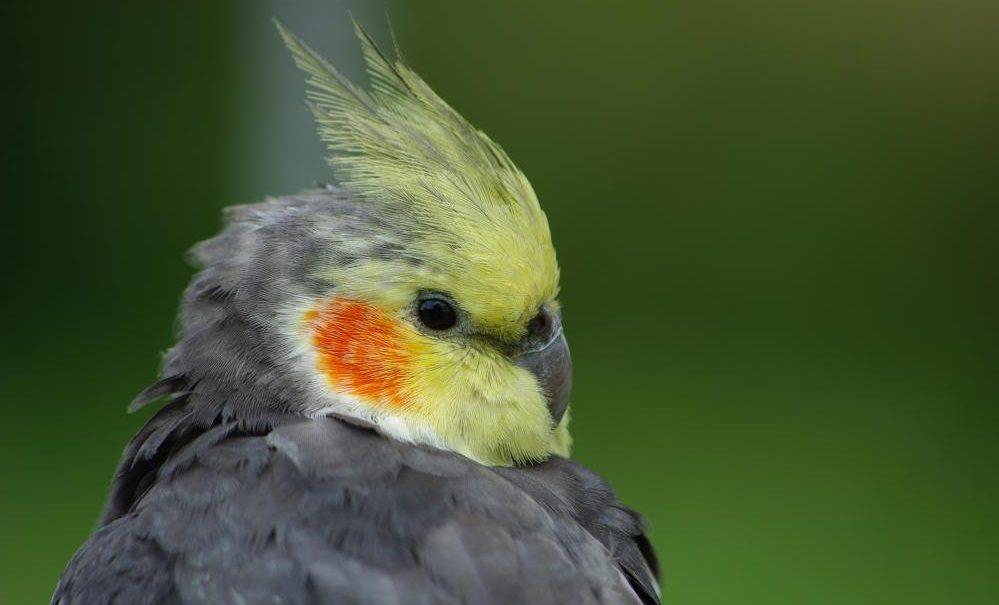 Pájaros Ninfas