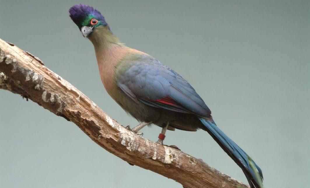 Pájaros Turacos