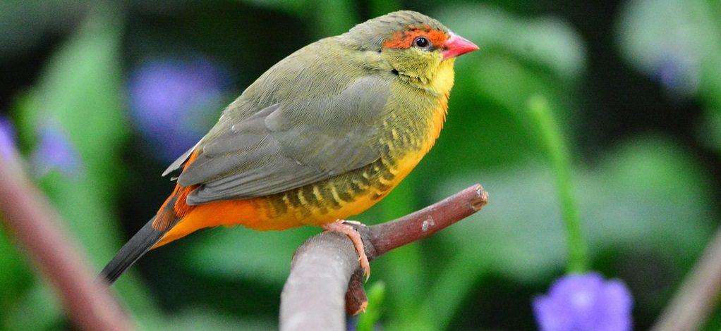 Pájaros Vientres naranjas